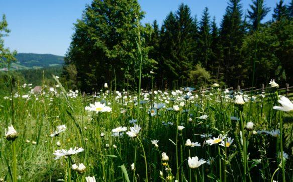Wo die Blumen blühen, da geht's auch den Menschen gut. Miesenbach macht's vor, denn hier sprießen die Blumen in all ihrer Pracht.