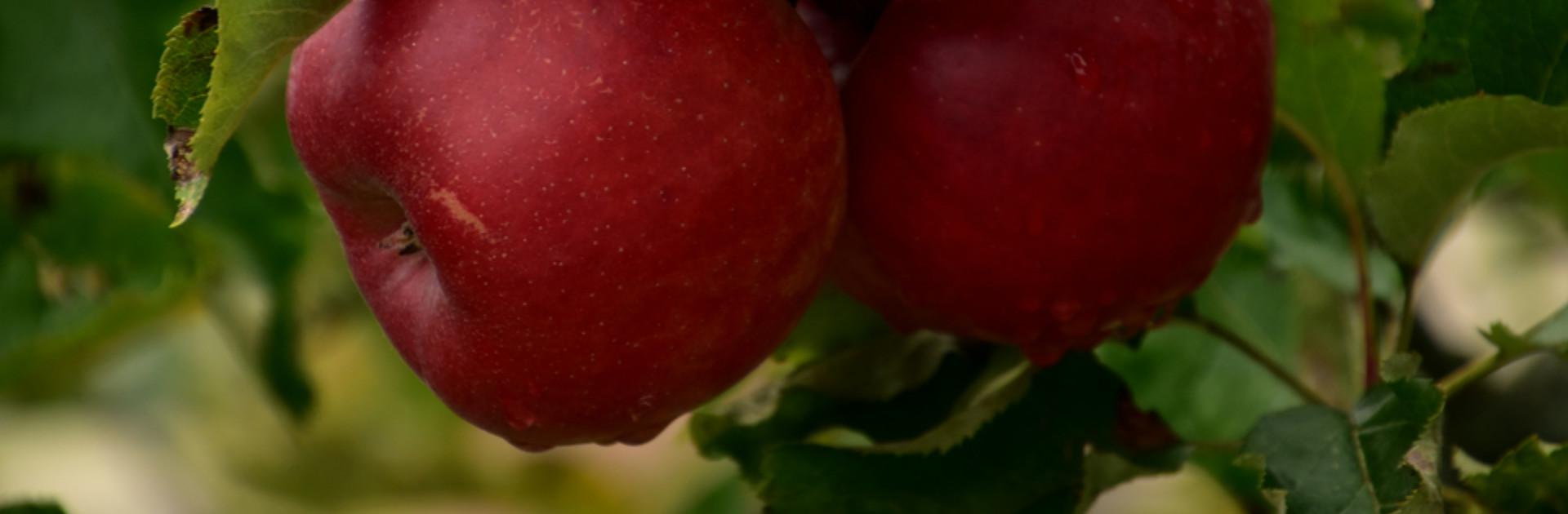 Rote Äpfel im Herbst in Miesenbach