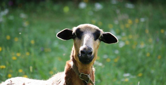 Kam ein Schaf aus Kamerun zum Wildwiesenhof